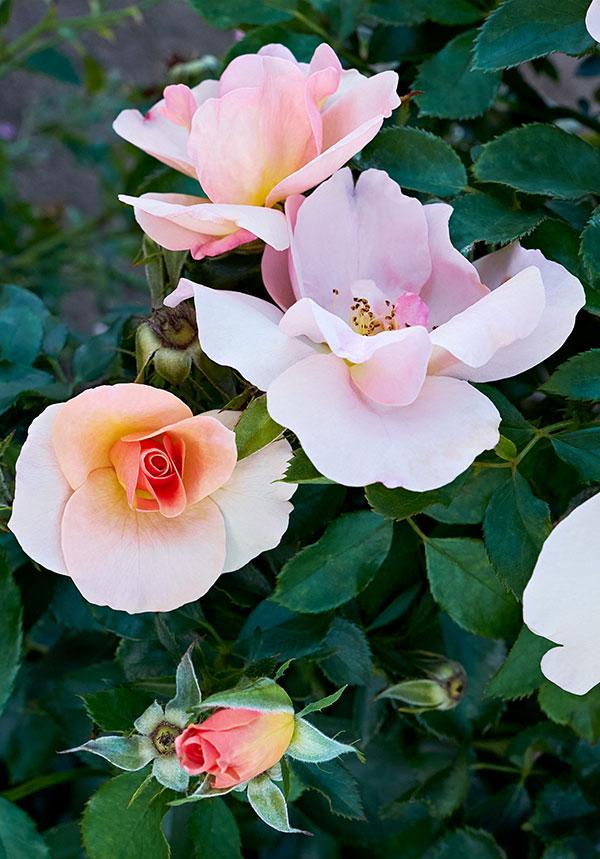 Chinook Sunrise rose, a hardy, low-maintenance, black-spot-tolerant rose