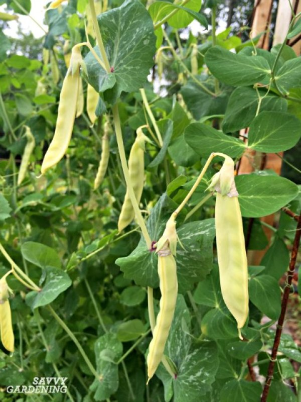 Peas are a fast growing vegetable and are also easy to grow in beds and containers.