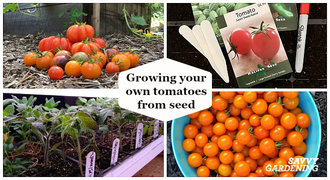 Growing tomatoes from seed is an great way to enjoy the many heirloom and hybrid varieties available through seed catalogs.