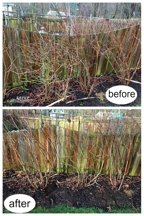 Before and after blueberry pruning.