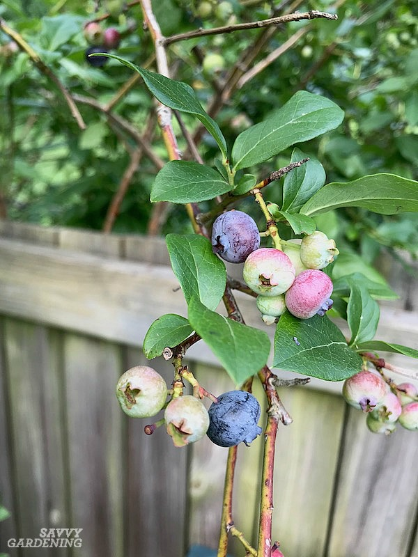 Proper pruning of blueberry bushes is essential.