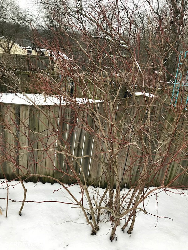 Blueberry pruning is best performed in winter. Here's how to do it.