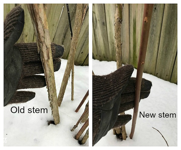 Old blueberry stem and new blueberry stem. Which is which?