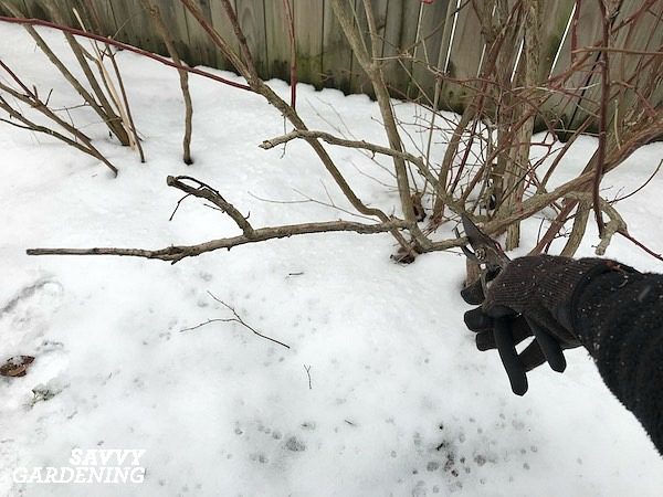 Pruning blueberries during the dormant season starts with removing dead wood.