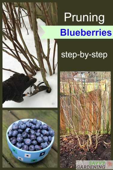 A step-by-step guide to pruning blueberry bushes each season. Create an open growth habit with lots of new, fruitful stems using this technique. #fruitgrowing #gadening