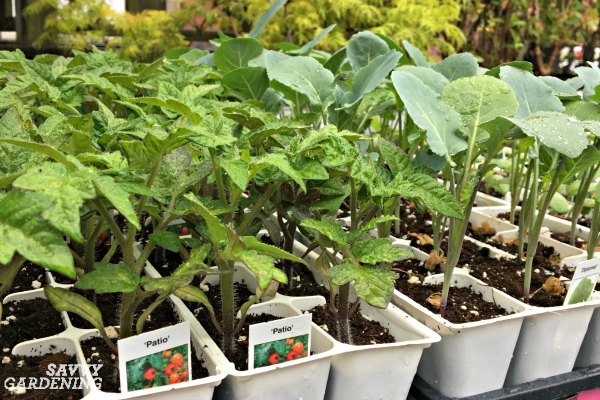 Save time by planting seedlings from your local garden center.