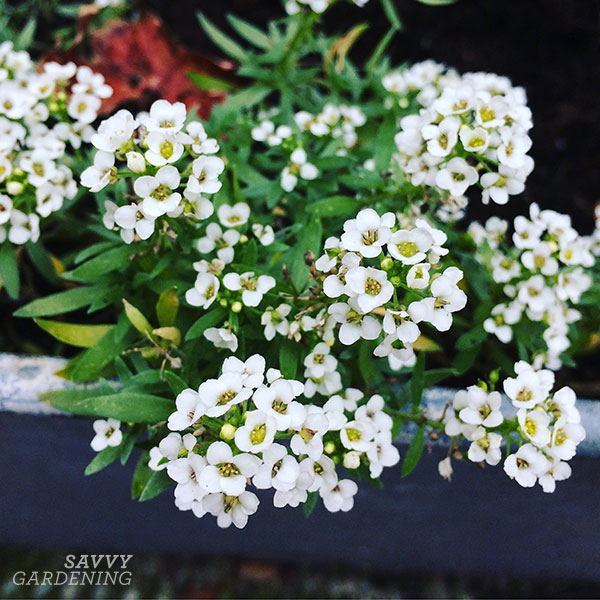 "Alyssum can be planted in a shade garden or tucked into containers as a ""spiller."""