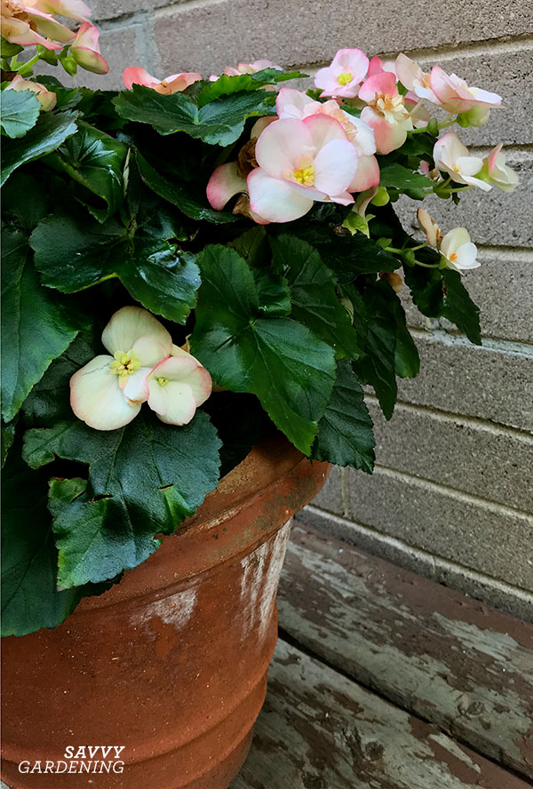 Begonias work well in terracotta pots and can also be planted in a shade garden.