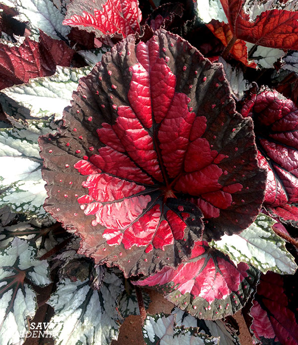 Dibs Rothko Rex begonia is a spectacular foliage plant.
