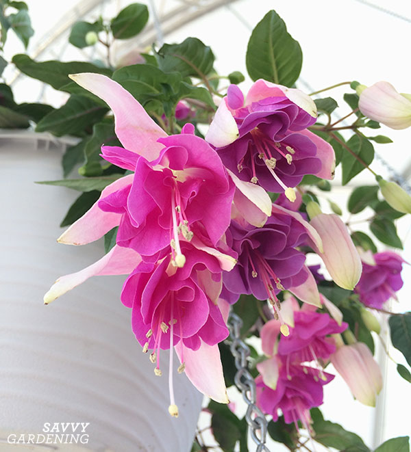 Fuchsias are great shade annuals for hanging baskets.