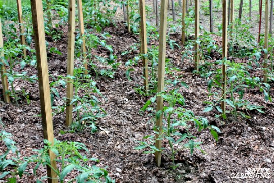 Staked tomato plants can be planted closer than unstated plants.