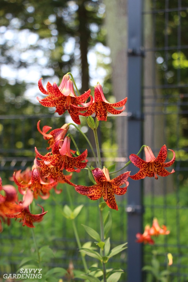 Canada lilies are just one spectacular variety of lily worth planting.