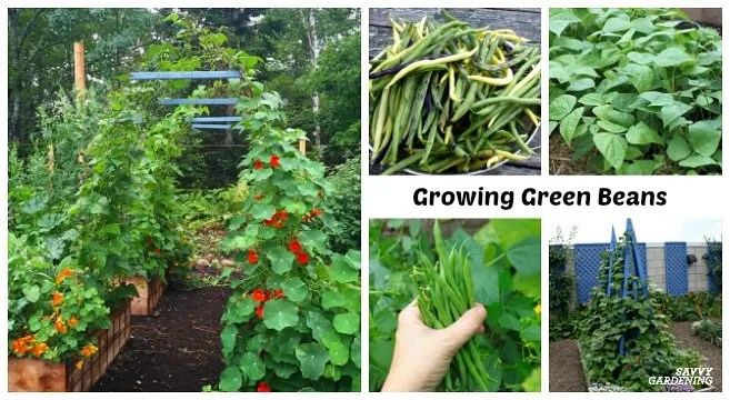 Learn how to grow green beans in garden beds and containers.