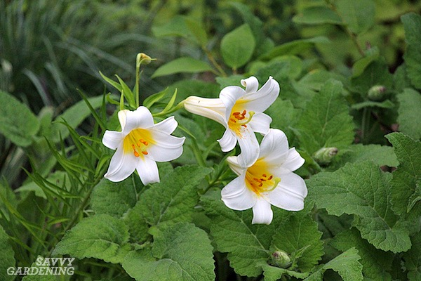 "There are many types of lilies that thrive in gardens, including the classic ""Easter"" Longiflorum lily."