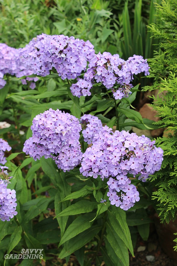 Tall-flowering purple perennials for the garden. #perennials #gardening