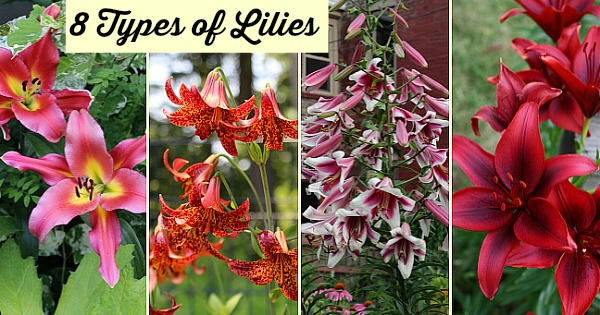 Types of Lilies: 8 Beautiful, Cold-hardy Choices for the Garden