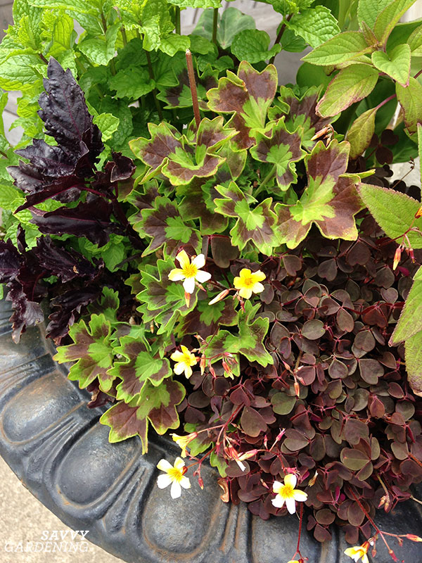 Combine herbs in your ornamental combinations