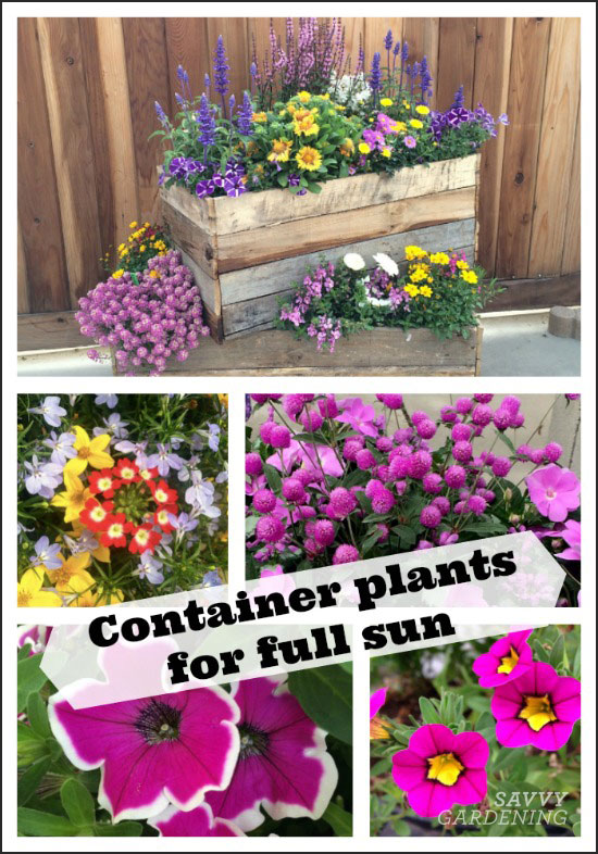 Container plants for full sun: Options for flowers, foliage, and texture, as well as thrillers, fillers, and spillers!