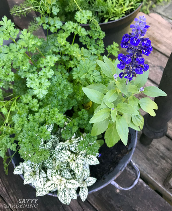 Curly parsley in an ornamental container arrangement