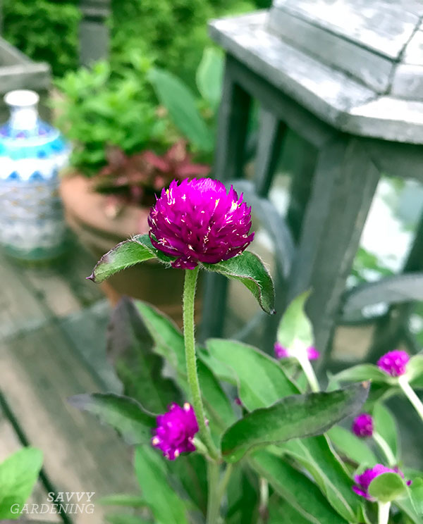 When I planted Ping Pong Gomphrena in a summer container, it bloomed right through the fall!
