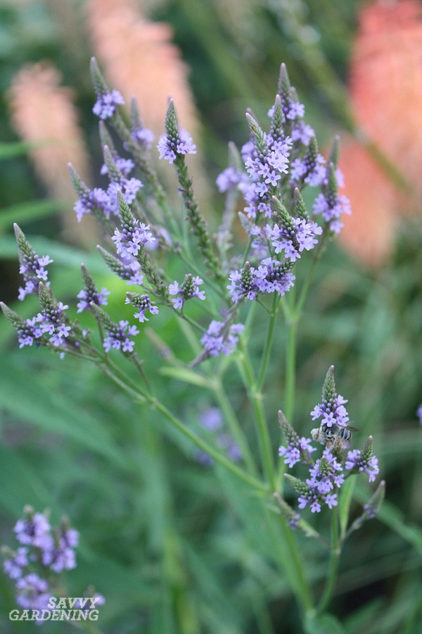 Perennials with purple flowers for your garden.