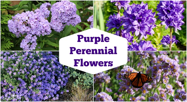 Purple Perennial Flowers: 24 Brilliant Choices for Gardens