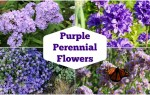 The best purple-flowered perennials for your garden.