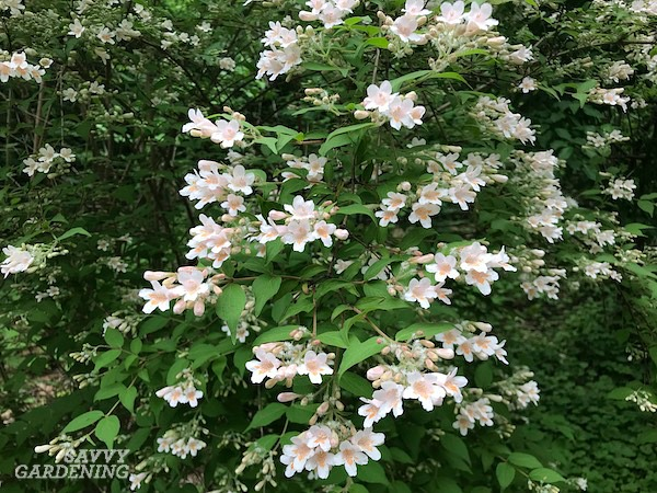 Shrubs that bloom in the shade: 16 favorites