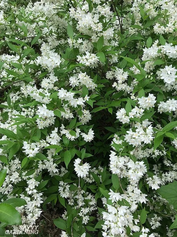 The best flowering shrubs for shade include slender deutzia and many more.