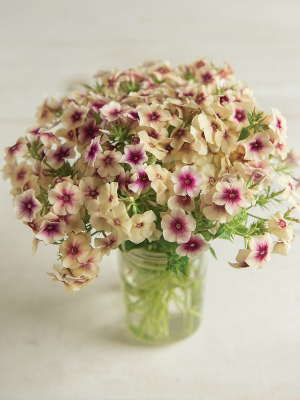 Annual phlox is a quick growing annual flower ideal for bouquets.