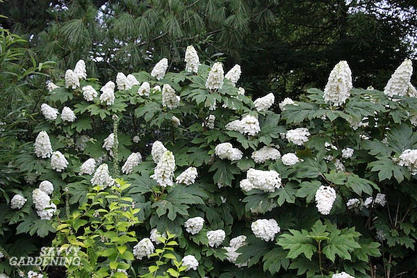Oakleaf hydrangeas are the best hydrangeas for shade