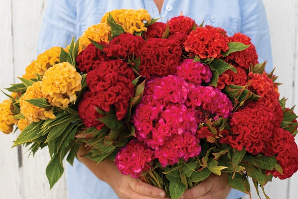 Celosia is an easy to grow cut flower with large velvety flowers.