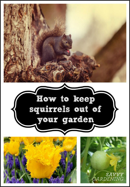 Learn how to keep squirrels out of your garden, from your veggie patch to your bulb garden