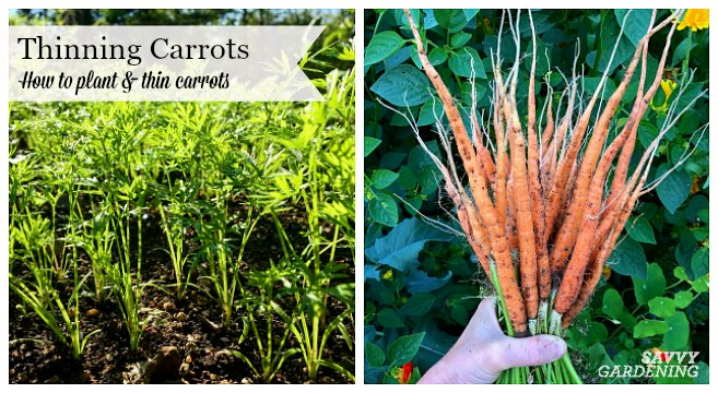 Thinning carrots is a necessary task to ensure a good crop of long, carrot roots.