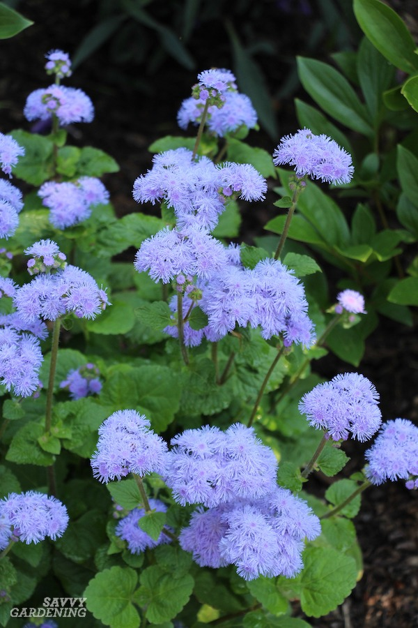 Ageratum is a deer-resistant flower. Here are many more.