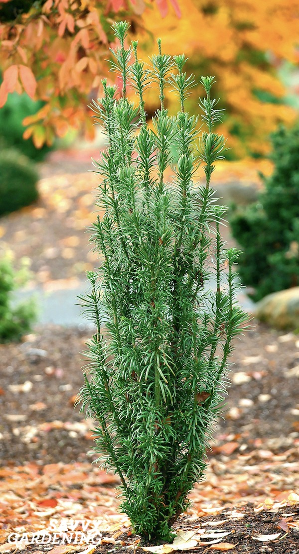 Compact and Small-scale Evergreen Shrubs