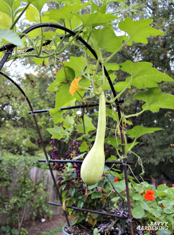 Squash is a good vegetable for a trellis.