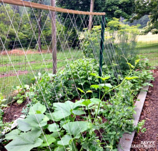 Learn which vegetables grow best on a trellis.