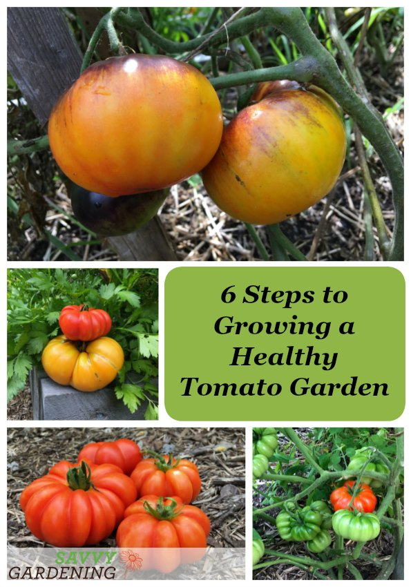 Learn the essential six steps to growing a healthy tomato garden.