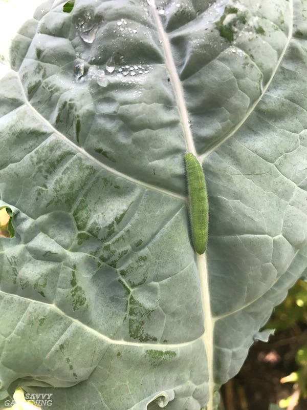 Cabbage caterpillars feed on members of the cole family.