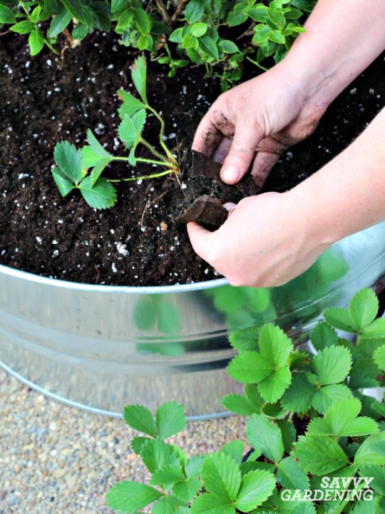 Strawberries can be planted from bareroot plants or potted seedlings.