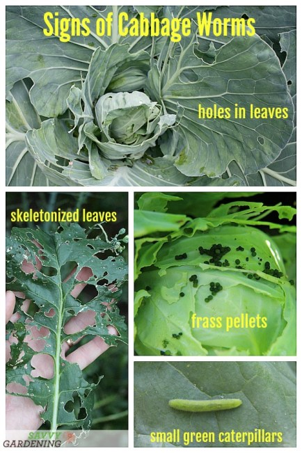 Signs of cabbage worm damage