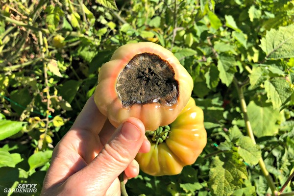 Blossom end rot is a common affliction of tomatoes.