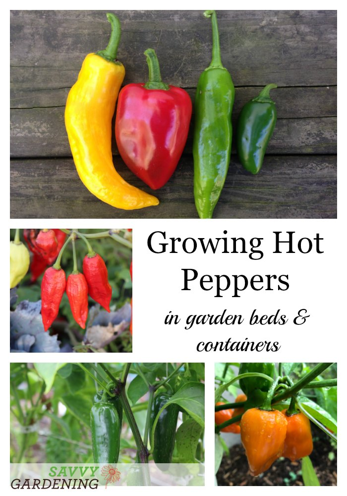 Learn how to grow hot peppers in garden beds and containers