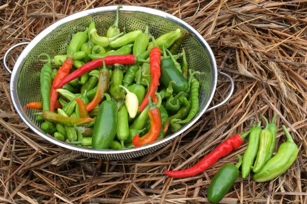 There are many hot peppers you can grow in gardens and containers.