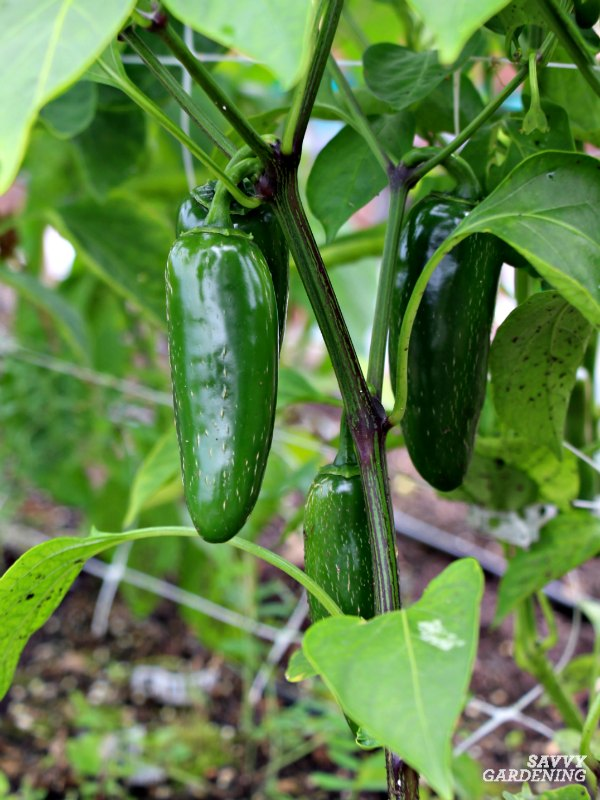 Growing hot peppers, like jalapeños in gardens and containers.