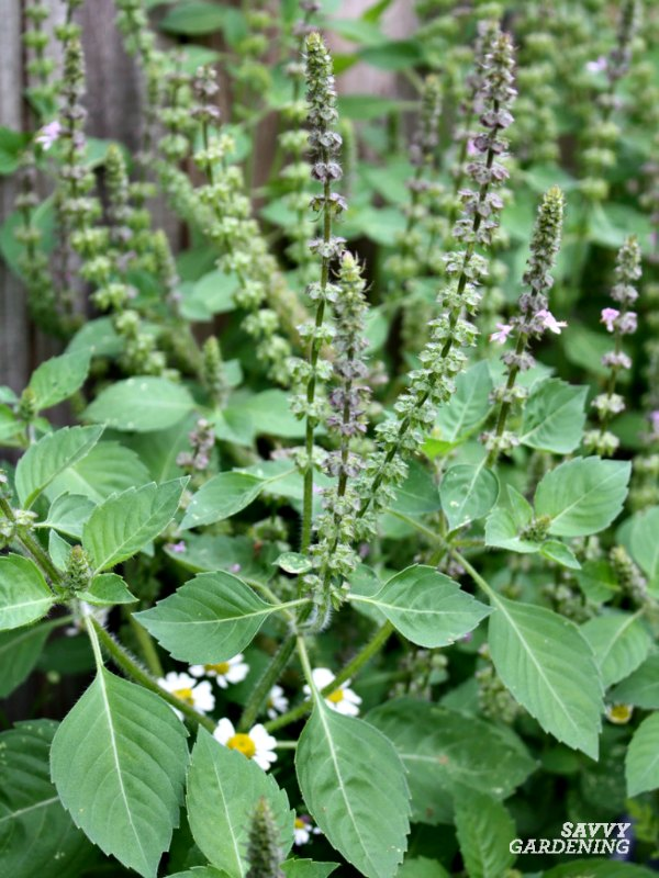 Lemon basil is a fragrant and flavorful type of basil that is easy to grow in gardens and pots.