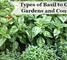 Learn the many different types of basil to grow in gardens and containers