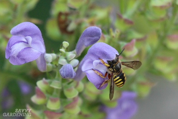 Wool carder bees are not native to North America but they are common here.