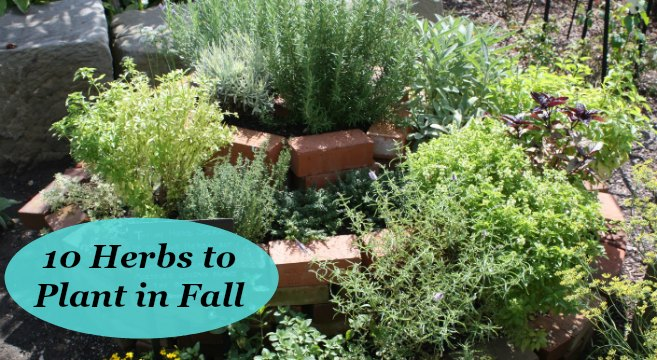 10 Herbs to plant in fall – in gardens and containers